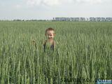 пшеница,